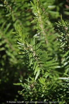 Rosemary bush