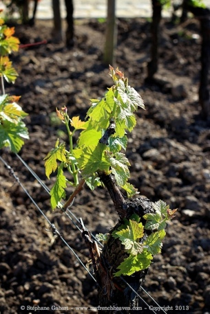First leaves at Petrus