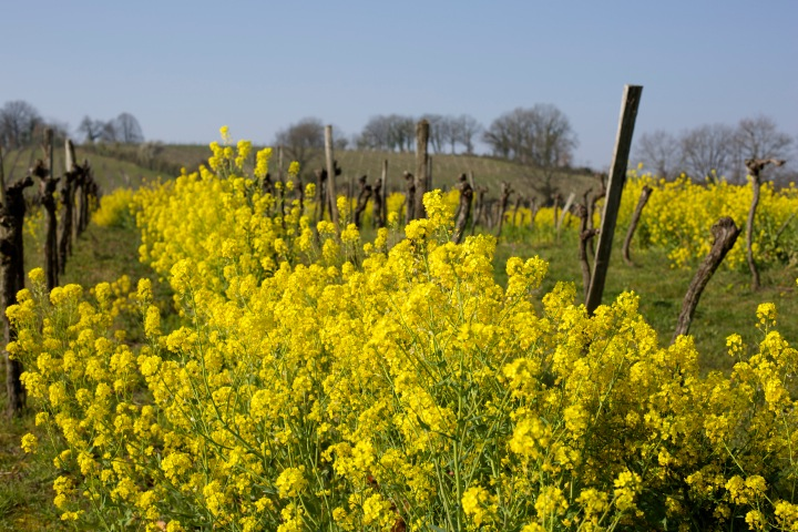 Canola in the vineyard