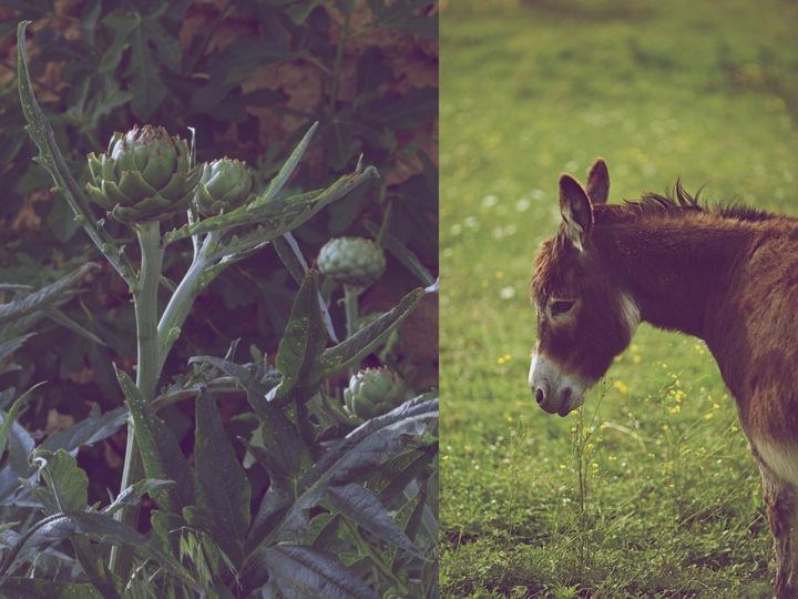 Donkey Artichokes