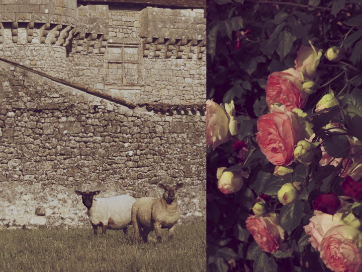 sheeps and roses