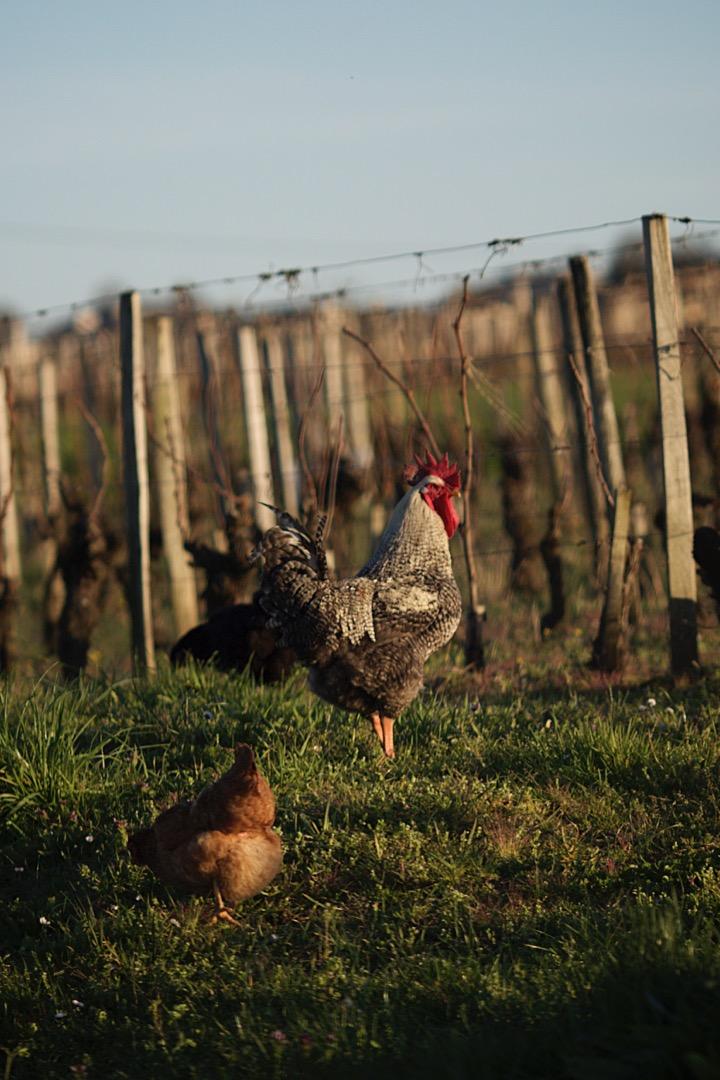 Saint-emilion-vineyard