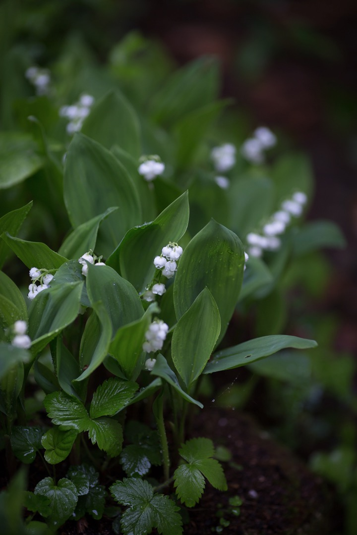 muguet-lily of the valley